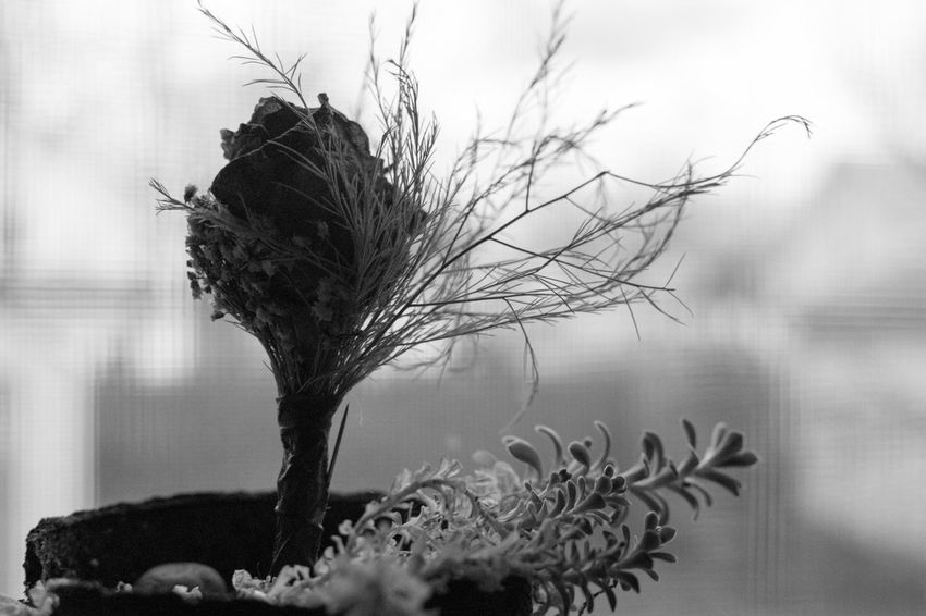 Beauty In Nature Blackandwhite Close-up Flower Fragility Hope Nature Nikond3300 No People Plant Roses Wilted Plant Yearning