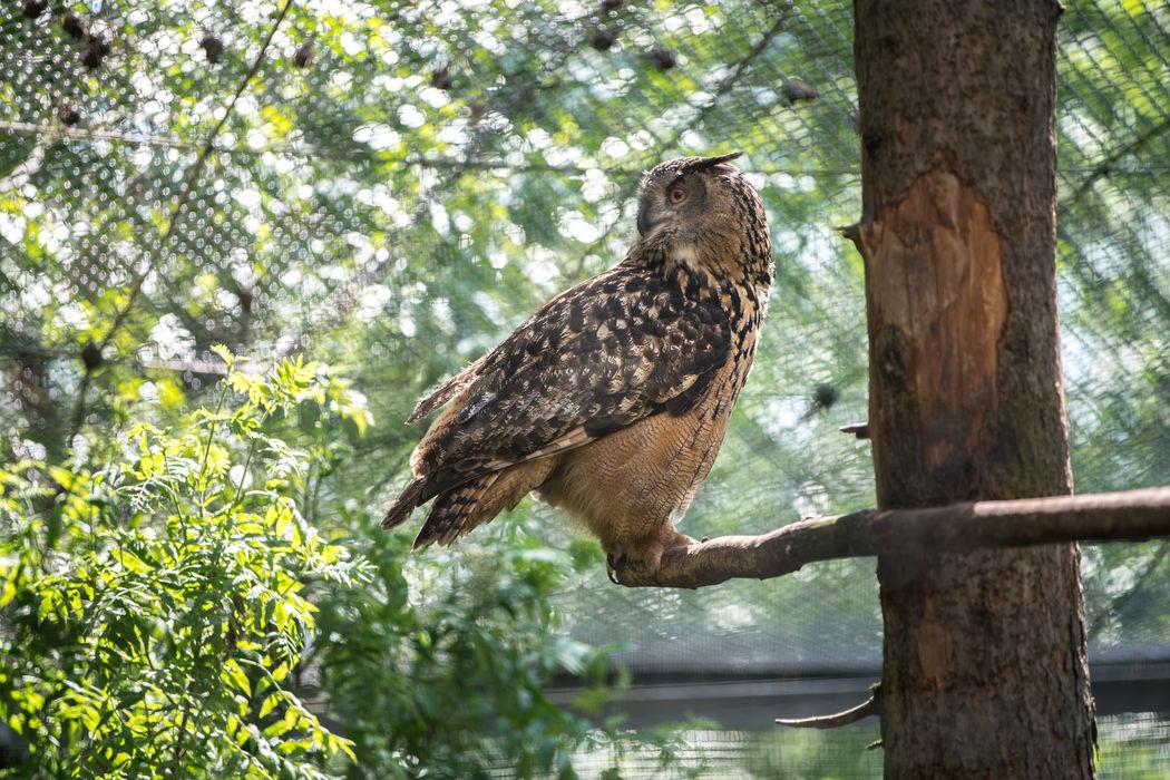 Eurasian eagle-owl (Bubo bubo) Eurasian Eagle-owl Zoo Animal Animal Themes Bird Bird Of Prey Bubo Bubo Owl Eurasian Eagle Owl