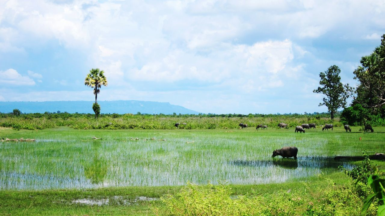 Travel Photography Cambodia Naturelovers Colors Green Rice Field Water Buffalo Palm Trees Reflection