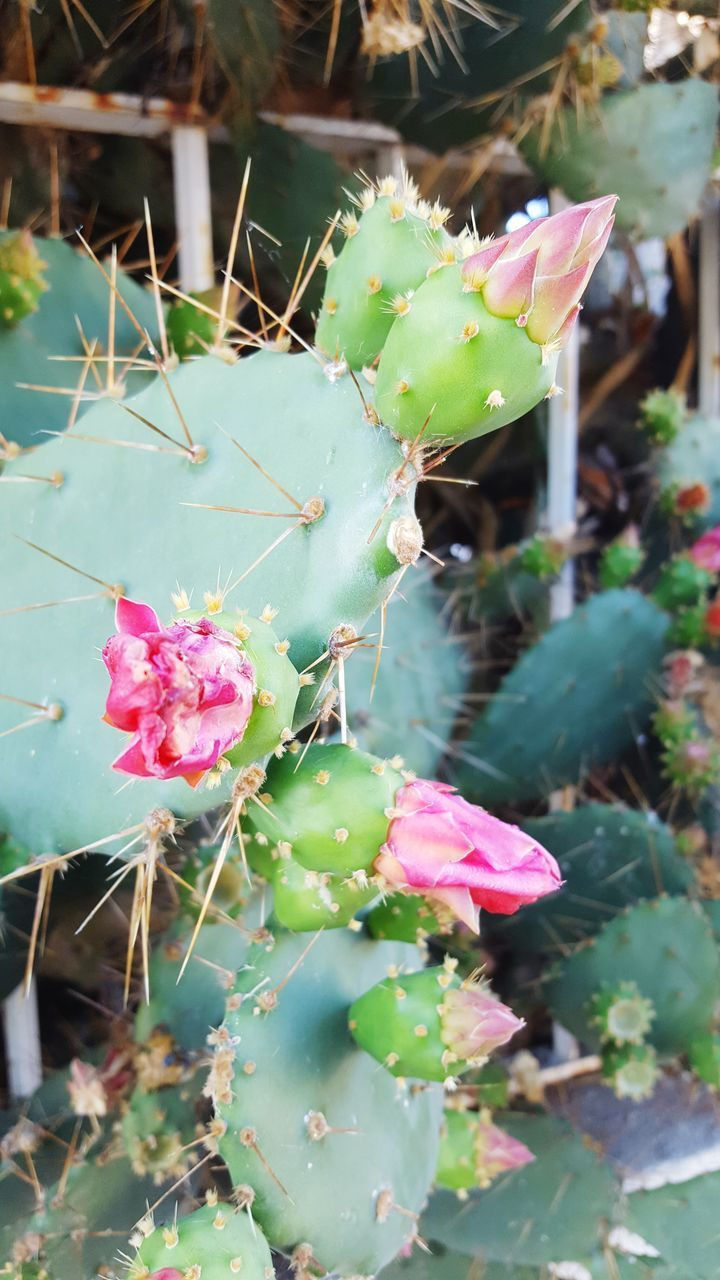 flower, pink color, growth, plant, nature, beauty in nature, fragility, day, outdoors, focus on foreground, no people, petal, cactus, close-up, green color, prickly pear cactus, flower head, freshness, leaf, water, blooming