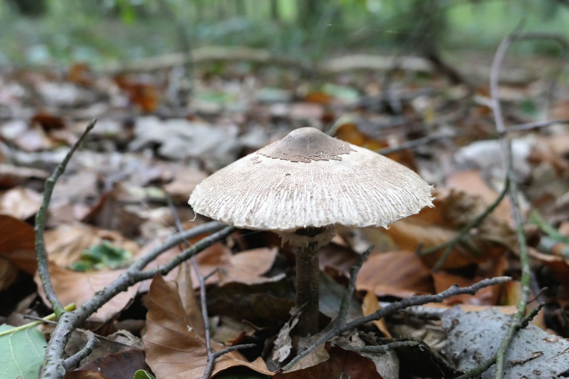 parasol mushroom (Macrolepiota procera or Lepiota procera) in forest Lepiota Procera Macrolepiota Procera Mushrooms Schirmpilz Day Forest Fungus Growth Mushroom Nature Outdoors Parasol Mushrooms