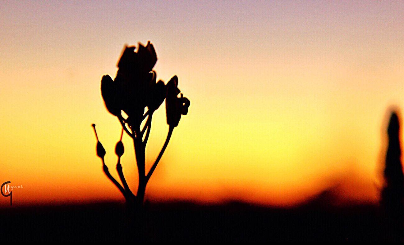 Sunset Flower Silhouette Nature Beauty In Nature Orange Color Fragility Close-up Flower Head No People Growth Petal Plant Outdoors Sky Photographyislifee Enjoying The Moment Beautiful Enjoying Life Photojournalism Photographylovers Canonrebelt5 Enjoying The Sights Inthemoment Horizon
