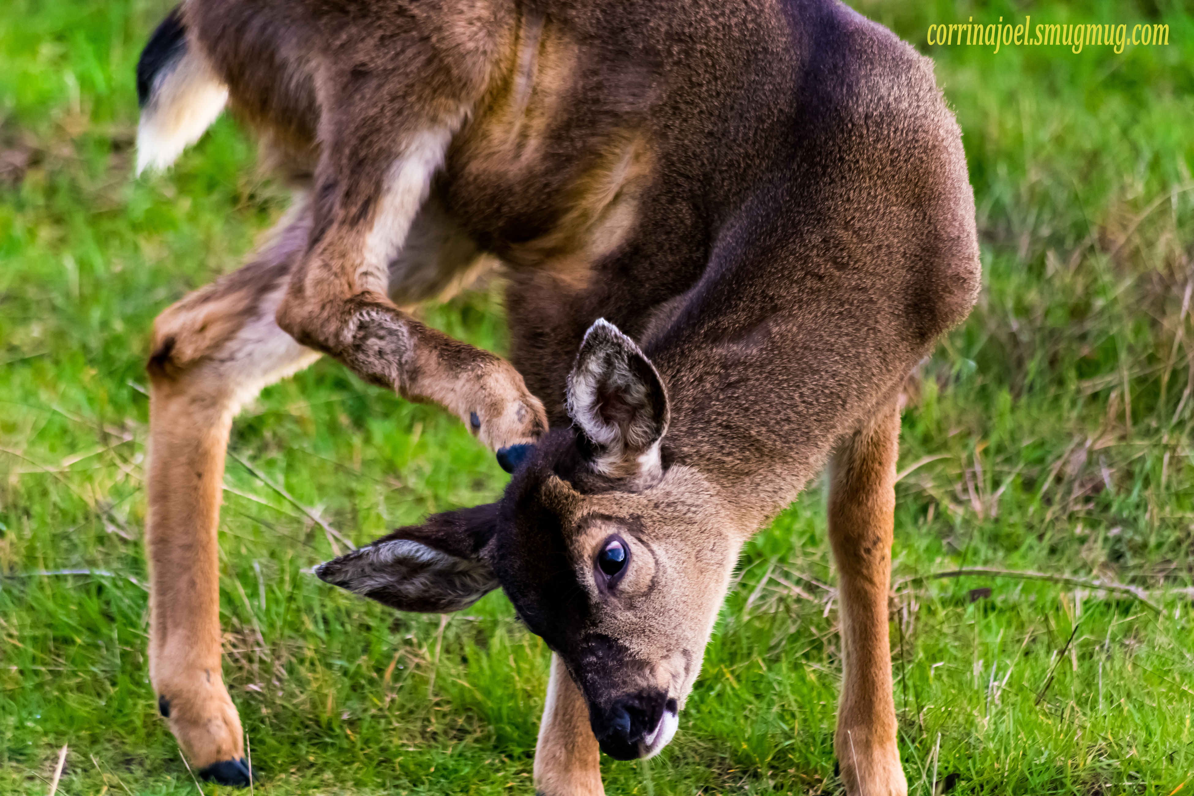 animal themes, mammal, grass, field, animals in the wild, wildlife, one animal, livestock, grassy, standing, young animal, nature, herbivorous, two animals, domestic animals, focus on foreground, grazing, deer, horned, outdoors