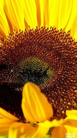 Sunflowers 🌻 FallFlowers Farmersmarket Beautiful Nature Nofilternoedit The Purist (no Edit, No Filter)