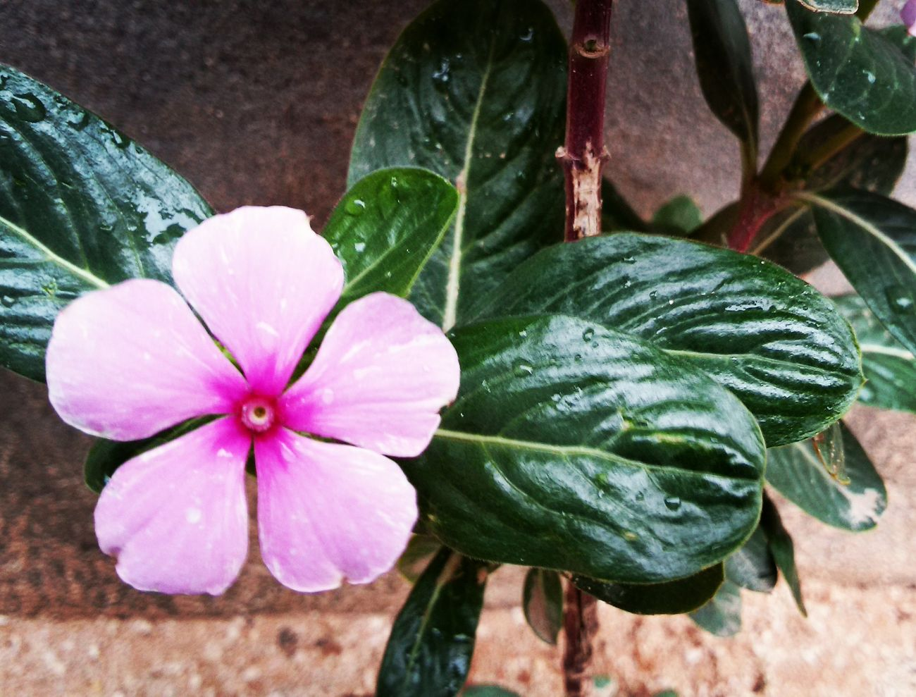 Follow me on instagram @SaddamAbushhiwa Flower Pink Color Outdoors Water Rany Day Nature