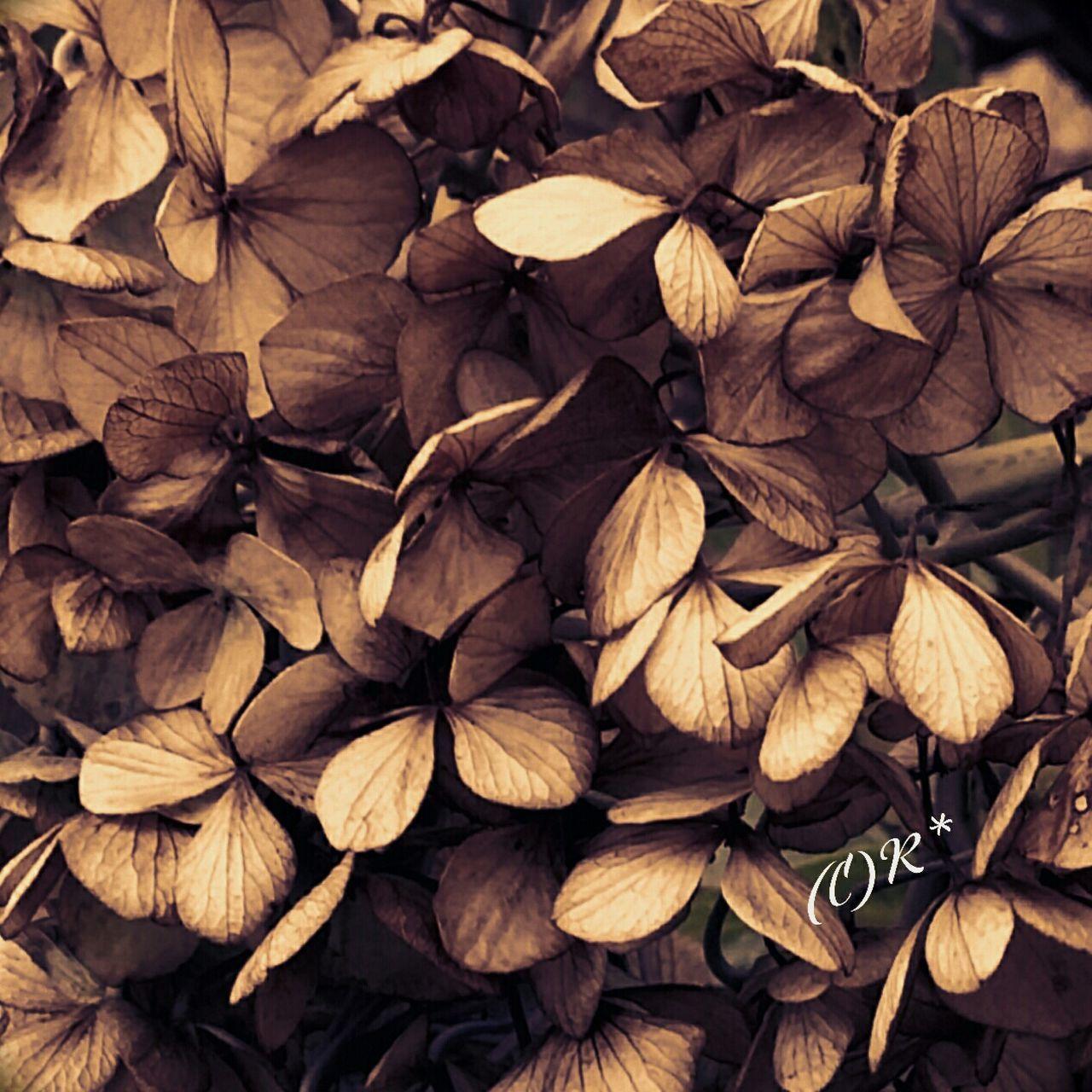 紫陽花-hydrangea- 紫陽花 あじさい 紫陽花Photo 素枯れ紫陽花 枯れ花 Flower