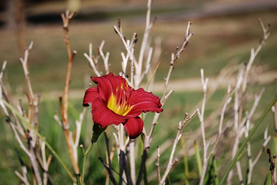 Red Lily Flower Beauty In Nature Nature EyeEm Nature Lover Red Focus On Foreground Flower Head Day Outdoors Flora Close-up No People Day Lily