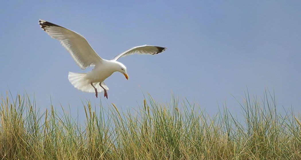 Bird Blue Flying Low Angle View Outdoors Seagull Sky Spread Wings White Wildlife
