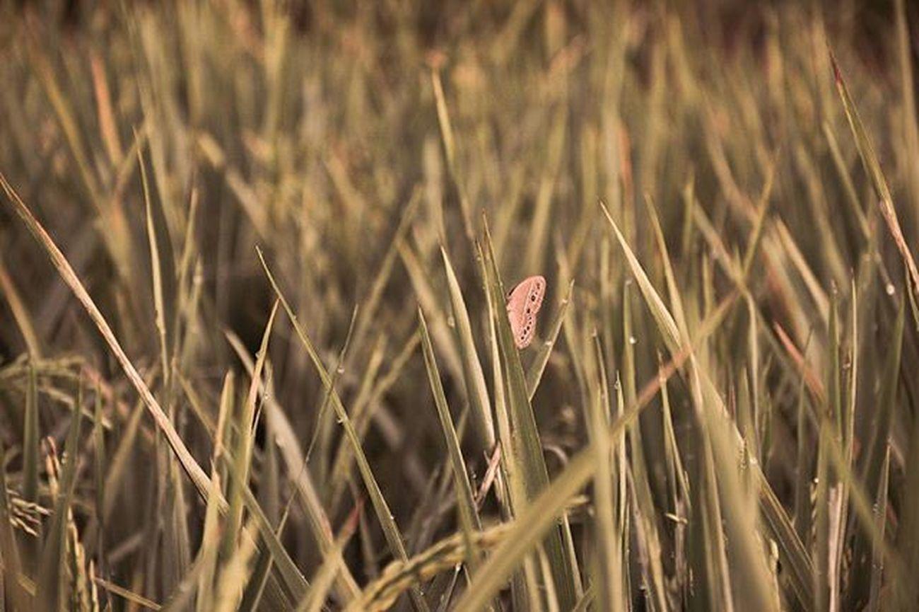 Bertengger Bertengger Kupukupu Butterply Butterflylover Persawahan Hamparanpadi Naturelovers Naturephotography