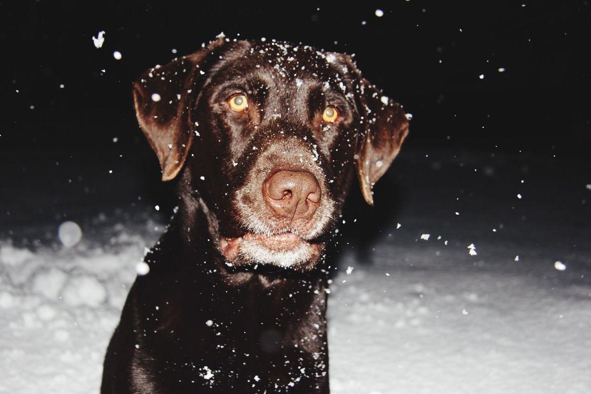 ?❄️⛄️ Snowdog Eiko Labrador Snowfall