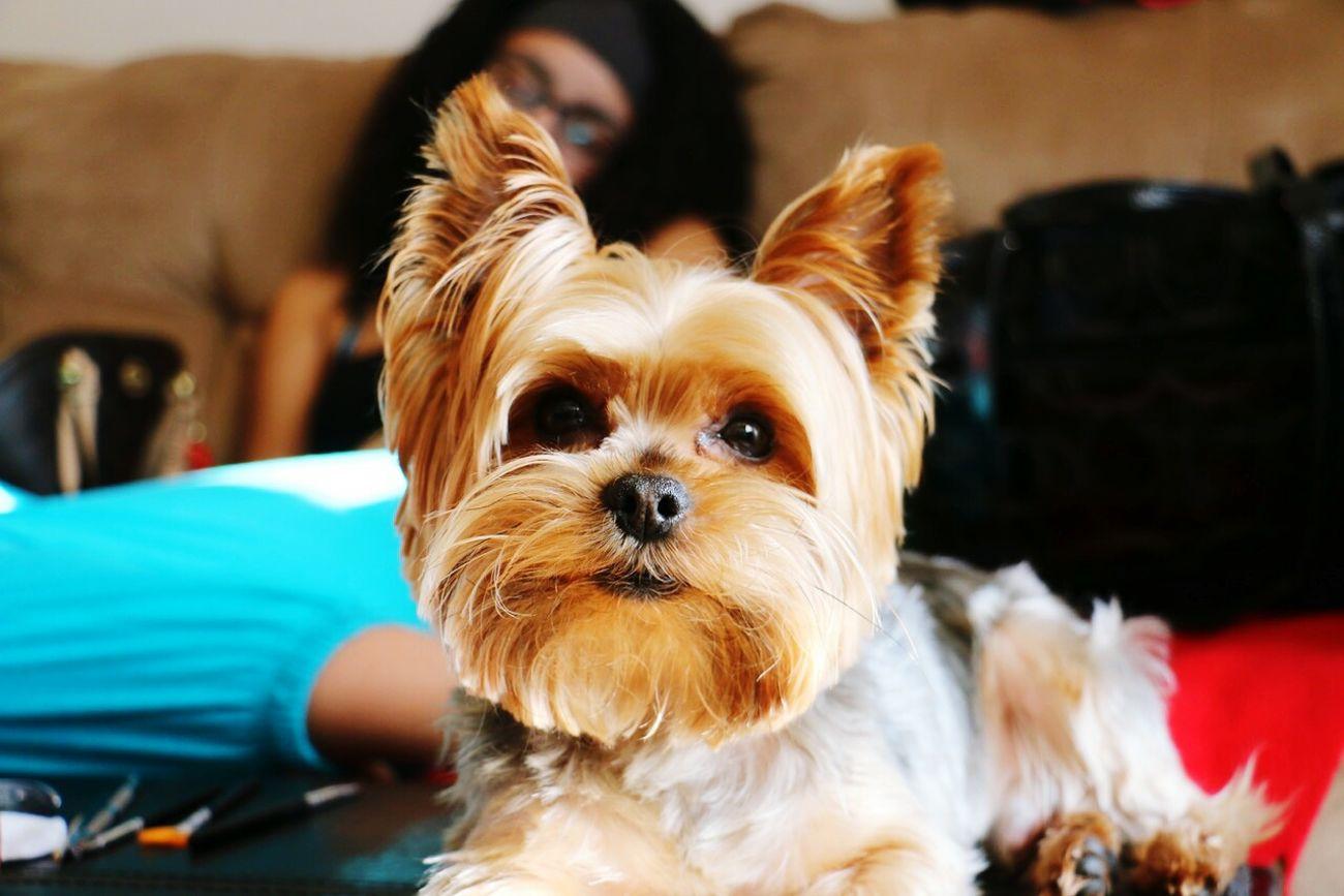 YorkieBestShots Yorkieselfie Yorkieproblems Teacupyorkielife Dogstagram Dogoftheday Doglife Doggie Puppiesofinstagram Pooches✌