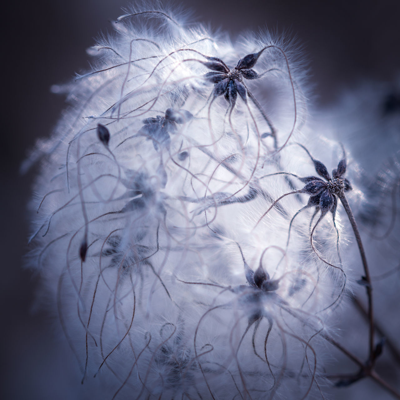 Network Abstract Art Artful Bloom Blossom Blowball Blue Closeup Cotton Cotton Ball Creative Different Dreamy Flower Fluffy Hairy  Linked Macro Merged Nature Network Plant Smooth Violet Web