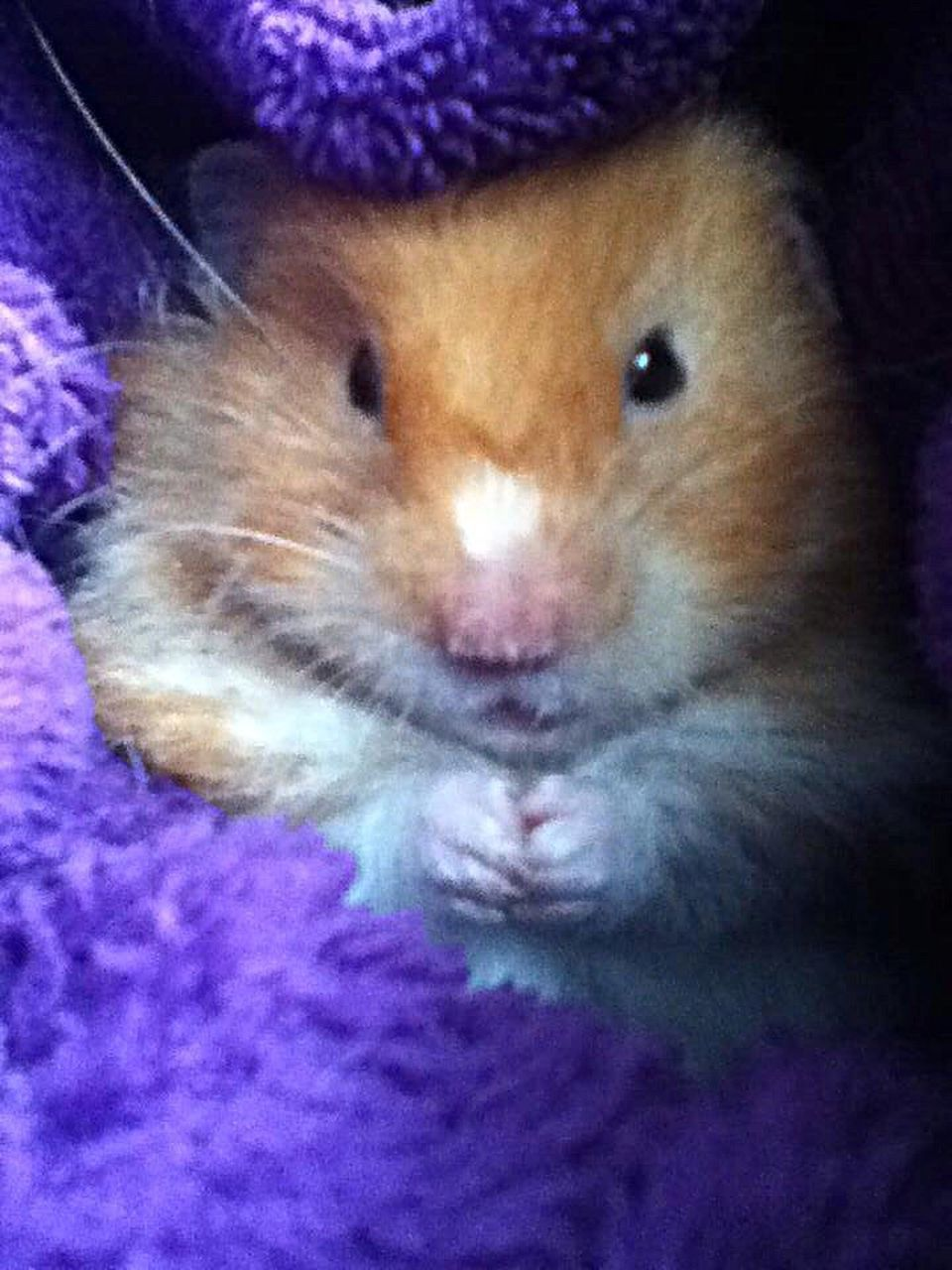 one animal, pets, purple, indoors, looking at camera, close-up, domestic animals, animal themes, no people, mammal, portrait, hamster, day