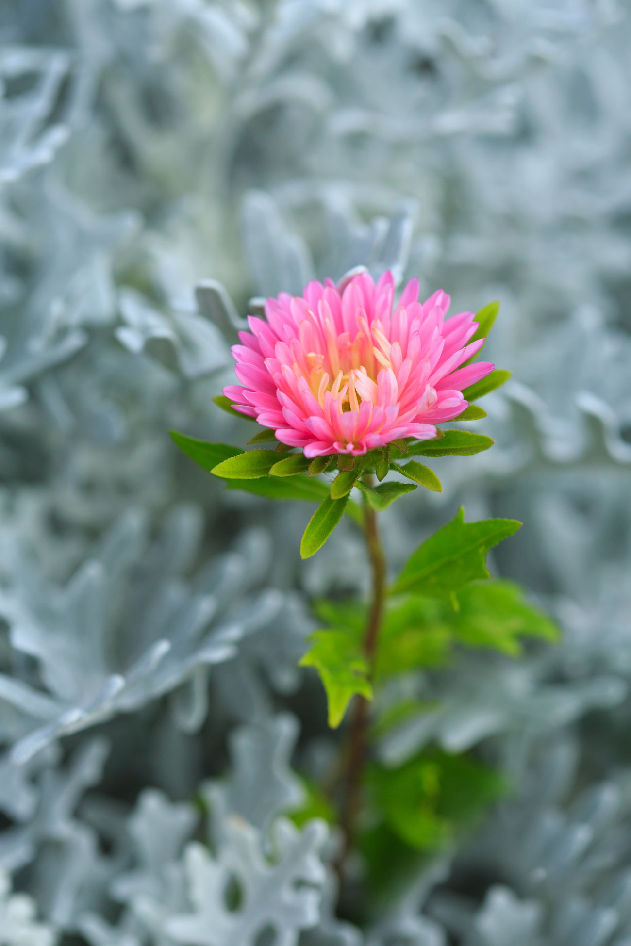 China Aster with Dusty Miller Flower Pink Color Fragility Nature Beauty In Nature Freshness Flower Head Petal No People Close-up Outdoors Plant Nature Flowers In My Garden Pink Flowers Colors Pink Pink Flower Vertical Composition