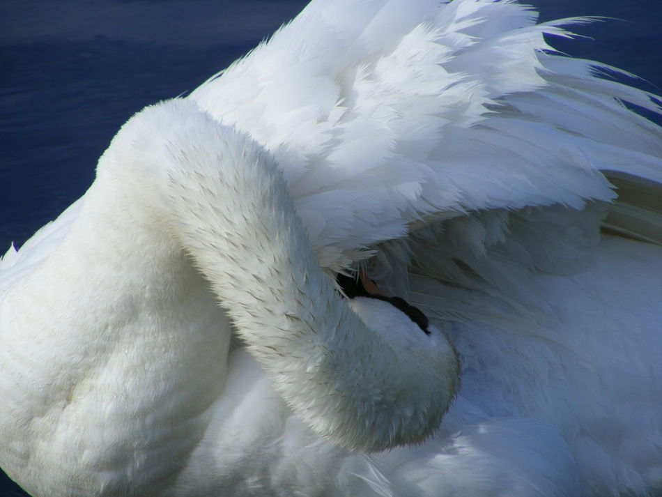 Animal Themes Beauty In Nature Bird Birds Bathing Birds Cleaning Fé Nature Nature And Wildlife Photography Preening Reflections Swan Swans Water White Swans Wildlife Wildlife And Nature