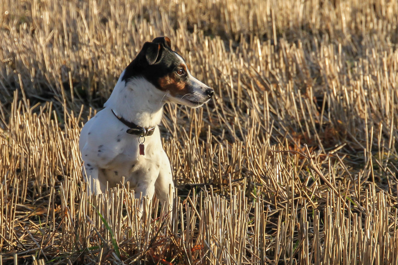 Jackrussell Domestic Animals Dog Cornfield Jack Russel Terrier Terrier Parsonsjackrussell Poppy