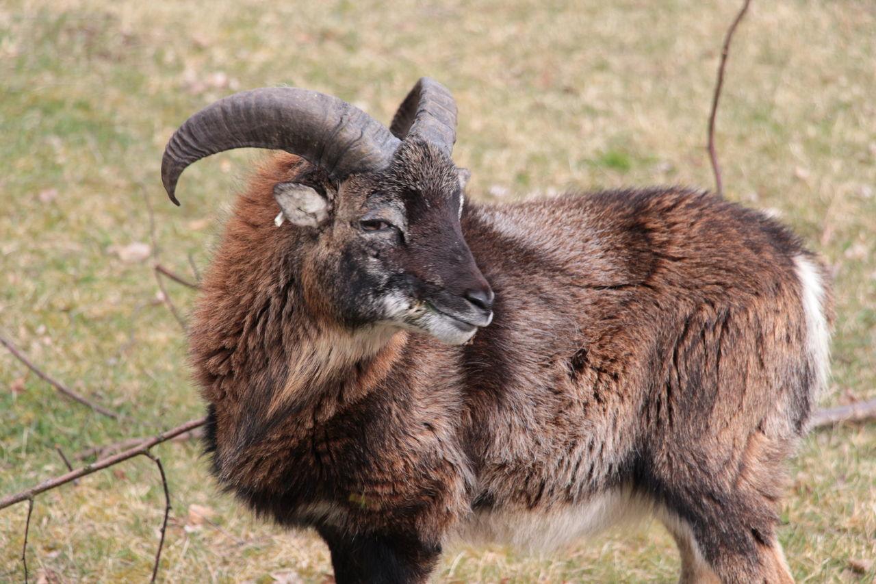 Bighorn sheep looking away at field