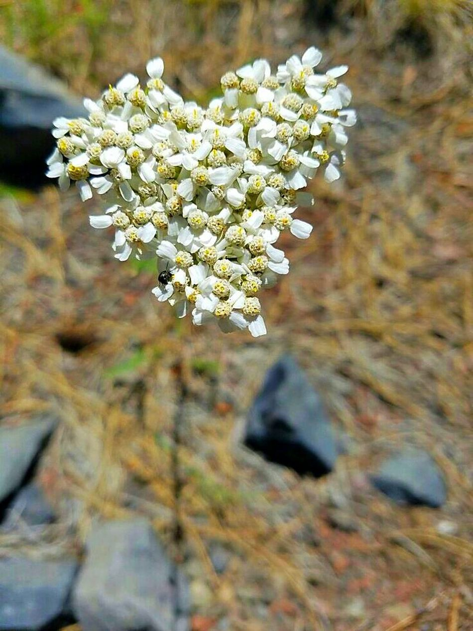 Heartflowers Freshness White Color Beauty In Nature Nature Photography Madebynature Color Pallete Blossom Outdoors Petal Plant Nature Springtime Beauty In Nature