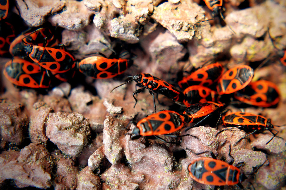 A group of common fire bugs on stone - Pyrrhocoris apterus - depth of field Animal Themes Animal Wildlife Animals In The Wild Black Close-up Common Day Fire Bug Group Of Animals Insect Life Life In Motion Macro Nature No People Outdoors Pattern Pyrrhocoris Apterus Red Spring Has Arrived