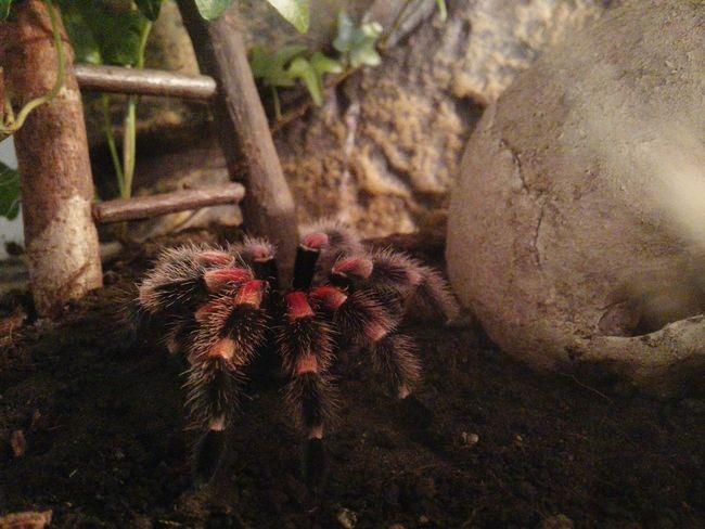 Frisch nach der Häutung ... After moulting Spinne Marie - Brachypelma Smithi Vogelspinne Tarantula Brachypelma