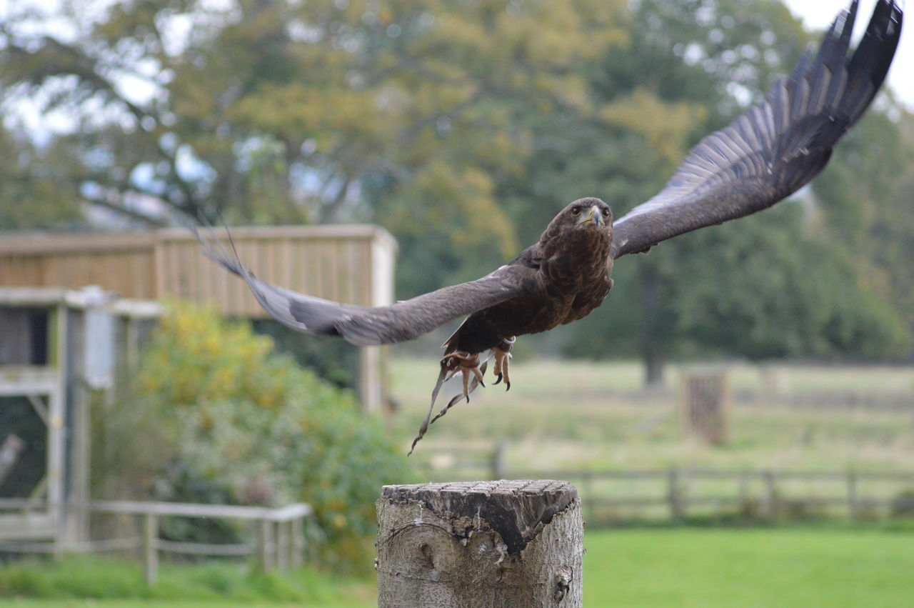 One Animal Spread Wings Flying Outdoors Nature No Filter, No Edit, Just Photography Falconry Display Bird Photography Nikonphotography Capturing Movement Cotswold Falconry Centre Bird Of Prey Birds In Flight Eagle Bateleur Eagle Feathers Close-up