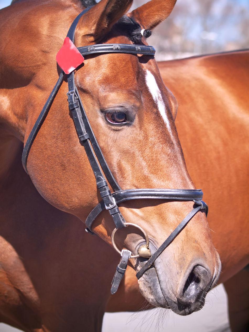 Bay Close Up Horse Sportive Stallion