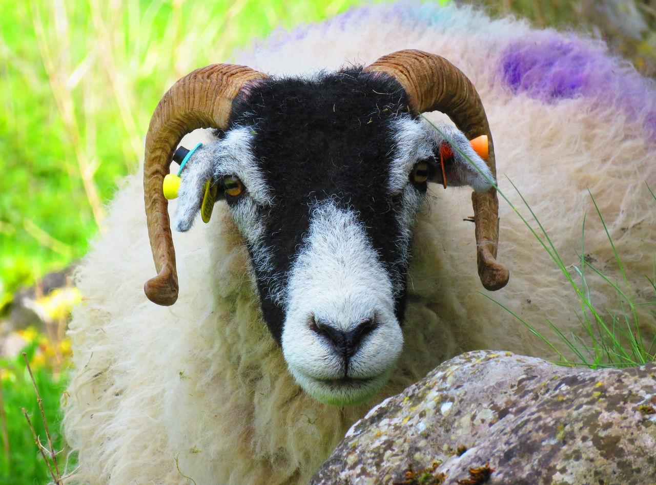 Grassington Livestock Looking At Camera Sheep Sheep Farm Sheep Meadow Sheeps Sheep🐑 Sheep Ranch Animal Photography Animal Head  Farm Life Sheep And Lambs Farm Animal Close Up Farm Animal Sheepfarm EyeEm Animal Lover Farm Animals EyeEm Best Shots Farmanimals Yorkshire Dales Yorkshiredales EyeEmBestPics Yorkshire Sheep Grazing