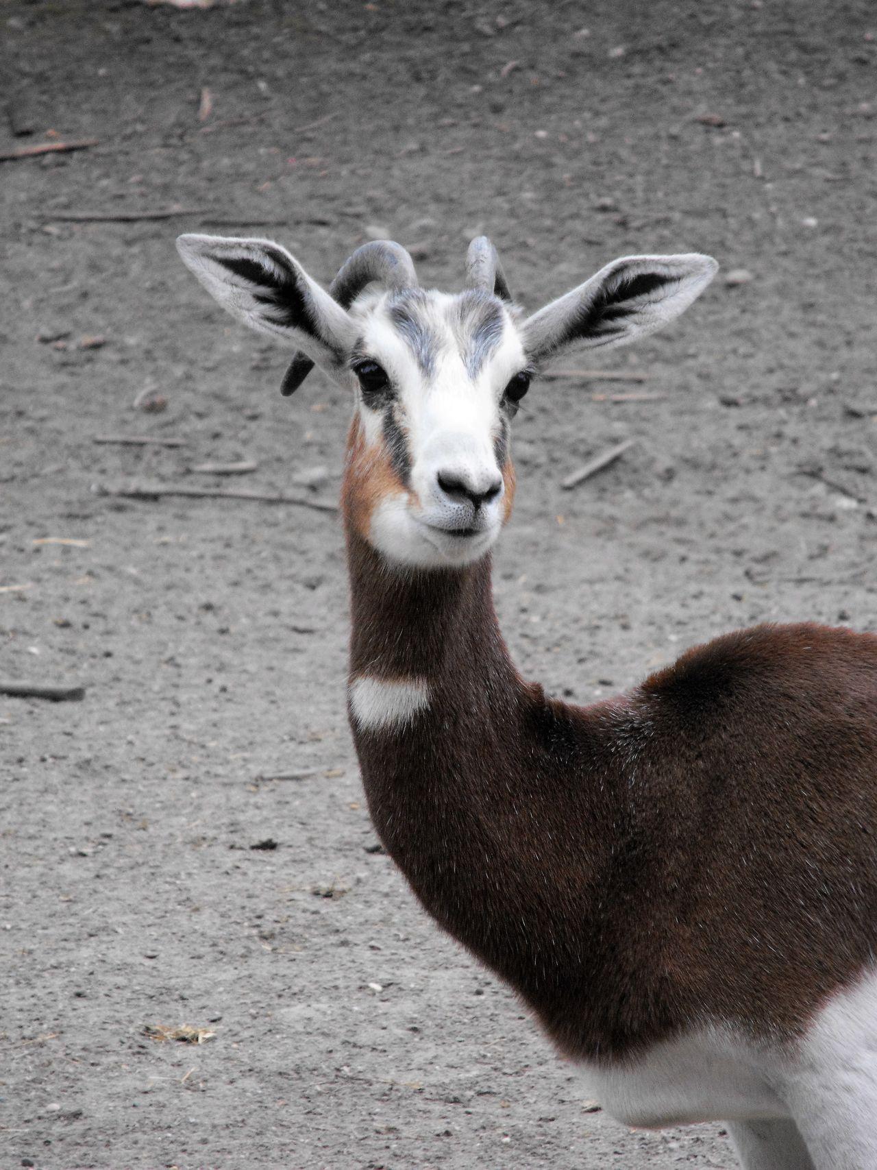 Animal Themes Antilope Big Ears Brown Focus On Foreground Gazelle Looking Away Mammal No People One Animal Outdoors Portrait Savannah Ungulates Vertebrate Wildlife Zoo Zoology