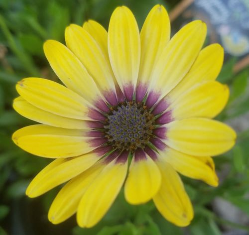 African daisy Flower Petal Fragility Yellow Flower Head Plant Freshness Nature Botany Beauty In Nature Growth Blossom Day Close-up Purple Outdoors Focus On Foreground Pollen Springtime No People African Daisy Daisy Flower Daisy 🌼 Daisy Paint The Town Yellow
