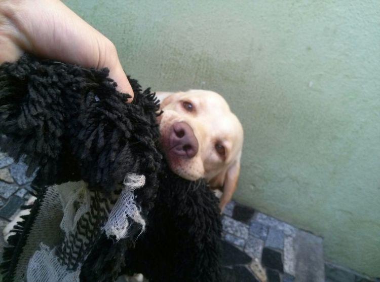 A Dogs Life Labrador Dog