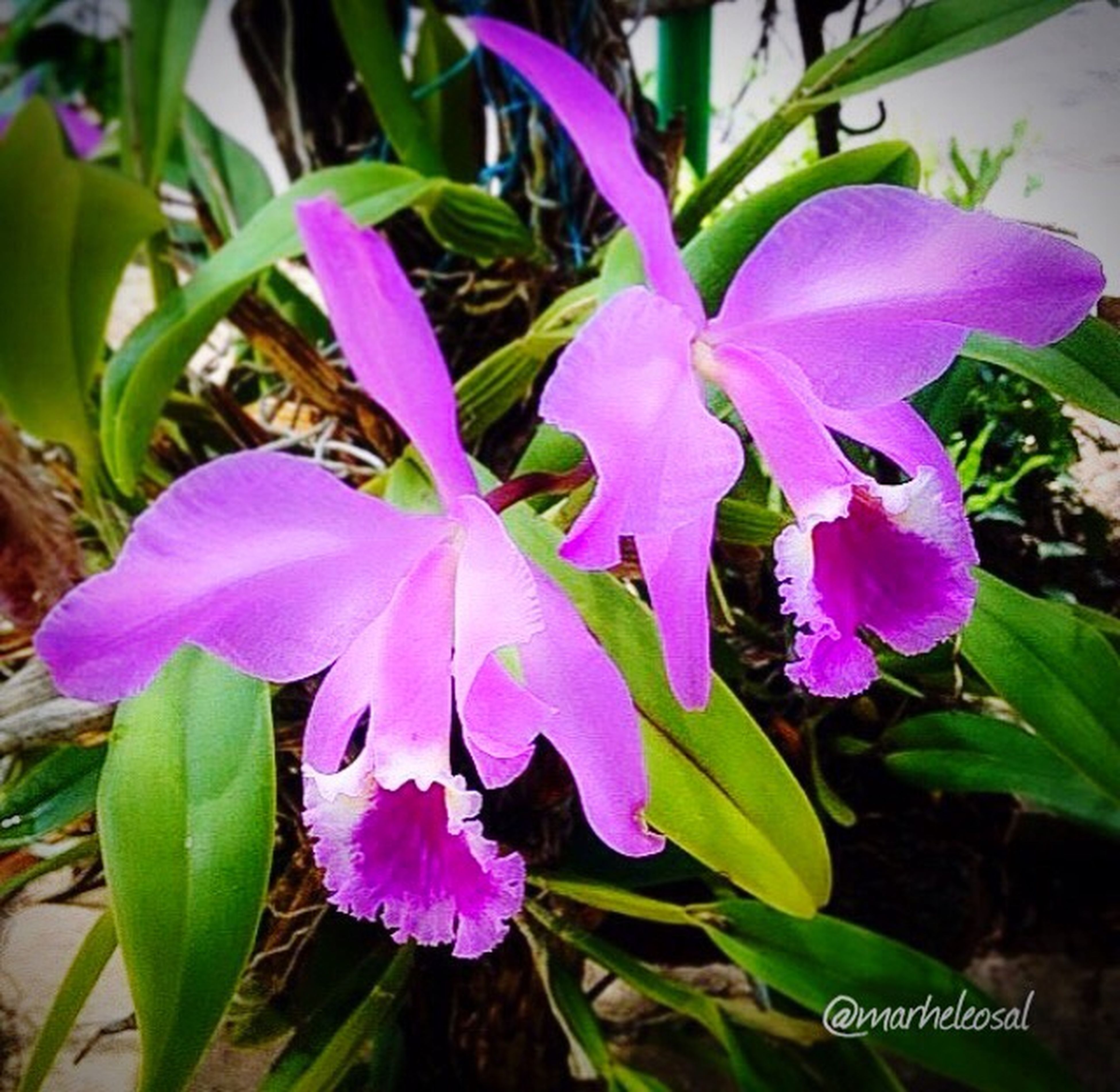 flower, freshness, fragility, growth, purple, petal, close-up, beauty in nature, stem, flower head, in bloom, plant, nature, blossom, botany, springtime, pink color, vibrant color, green color, softness, day, focus on foreground, bloom, green, plant life, no people, growing