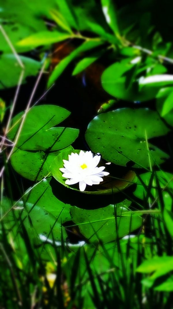 White Water Lilly @ Audubon Park In Deltona Lilly Pad Water Lillies Enjoying Nature EyeEm Nature Lover Natureonyourdoorstep Beautiful Nature Getting Inspired
