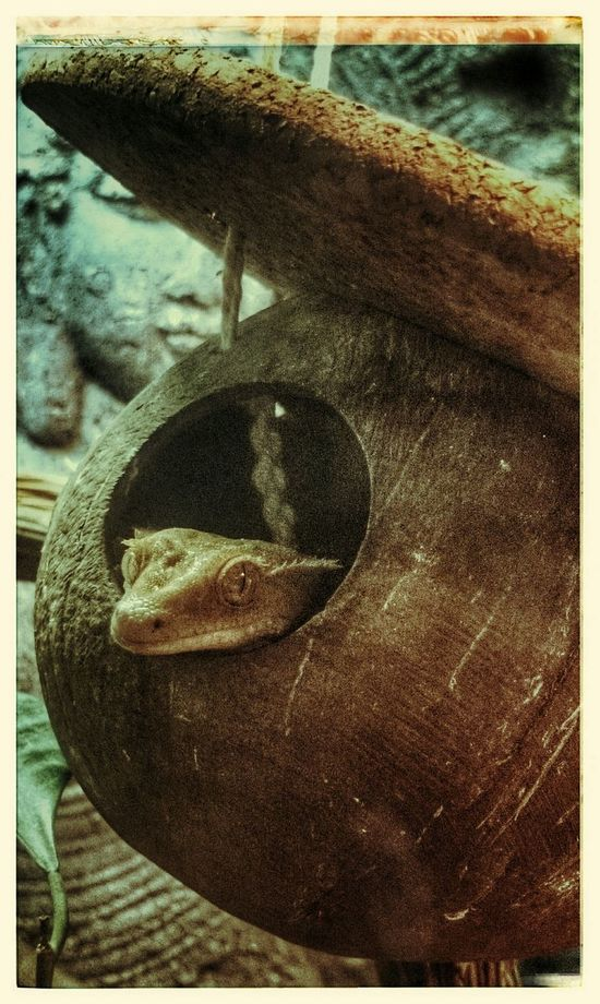 Haustier Pets Kronengecko Crested Gecko Neukaledonien Gekko Gecko Reptilien Reptiles Is There Anybody Out There?