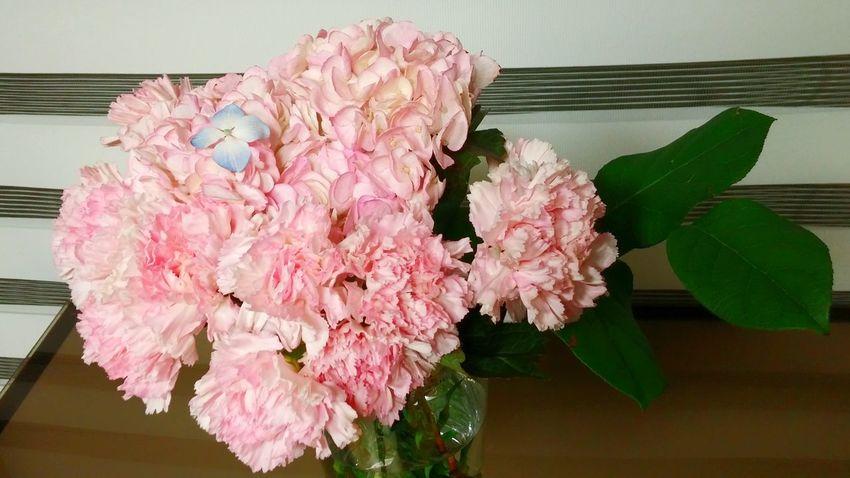 수국 카네이션 분홍 꽃 Flower