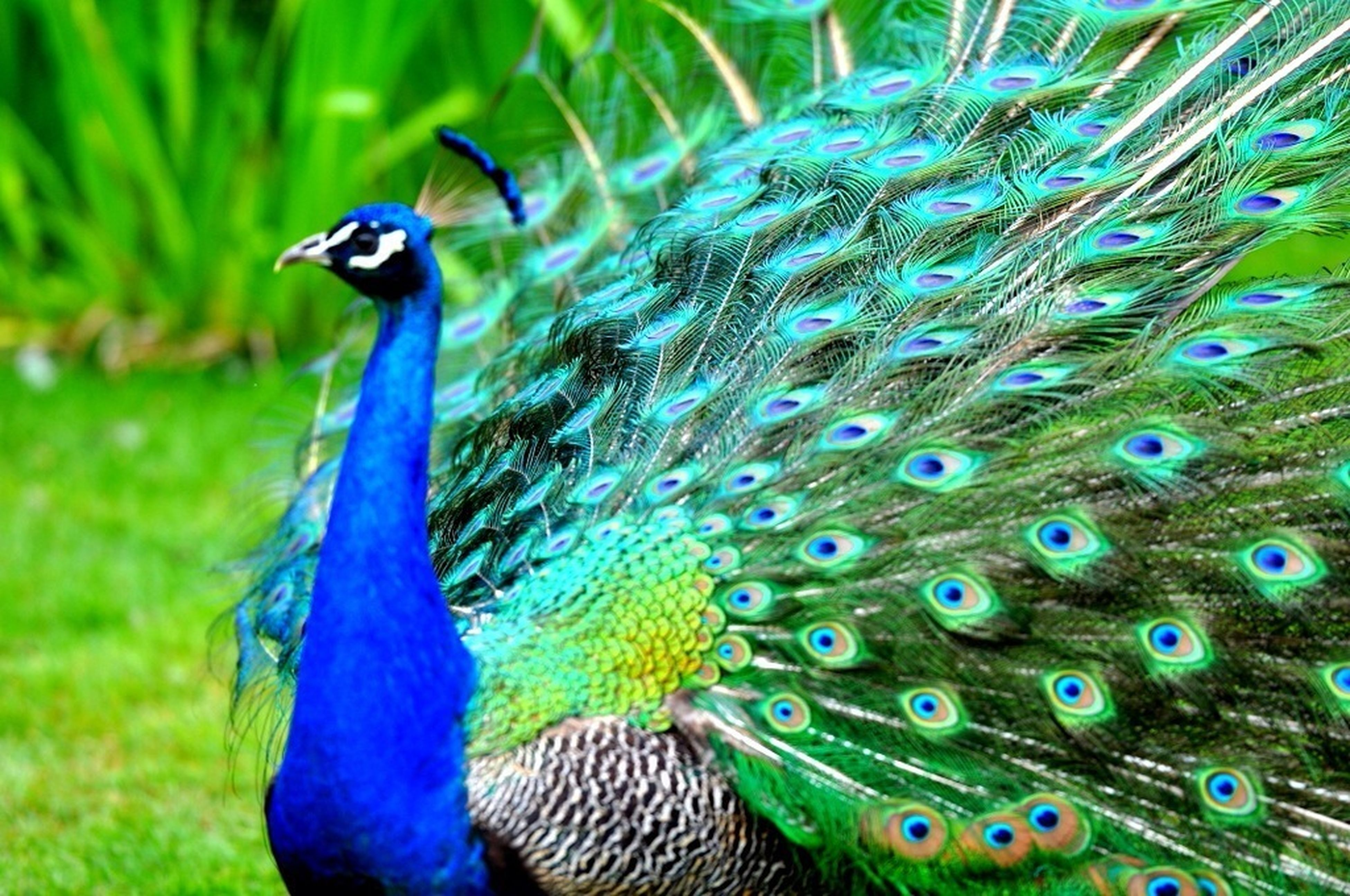 peacock, animal themes, animals in the wild, bird, wildlife, one animal, feather, blue, beauty in nature, male animal, peacock feather, close-up, natural pattern, nature, multi colored, focus on foreground, animal head, outdoors, day, green color