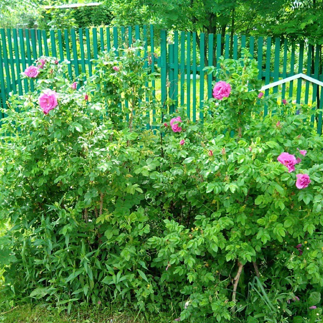 #растение #шиповник #растения #plants #plant