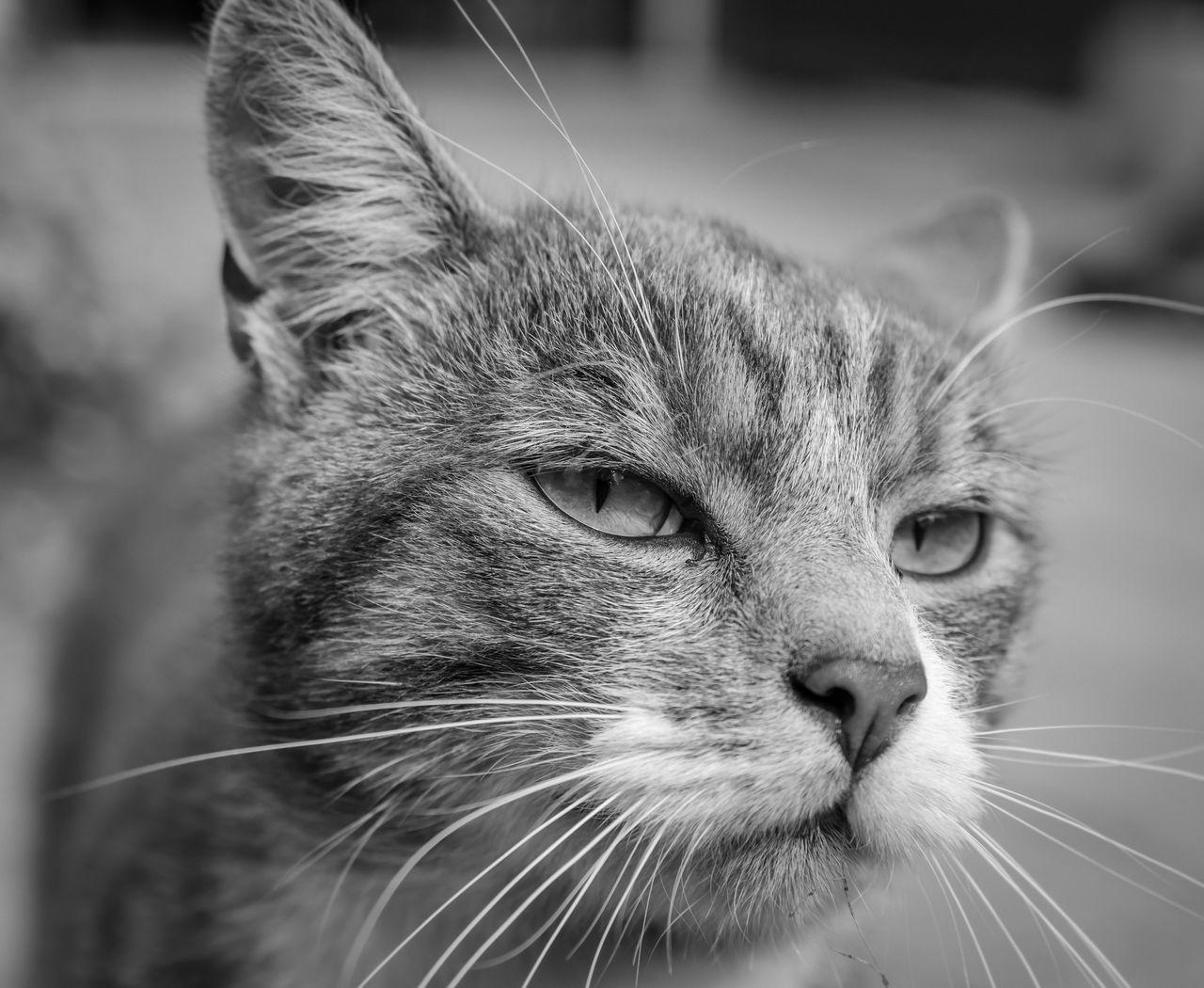 Augen Fell Haustier Kater Katze Kopf Nase Portait Schnurrbart Schwarz & Weiß Tier Tier Ha