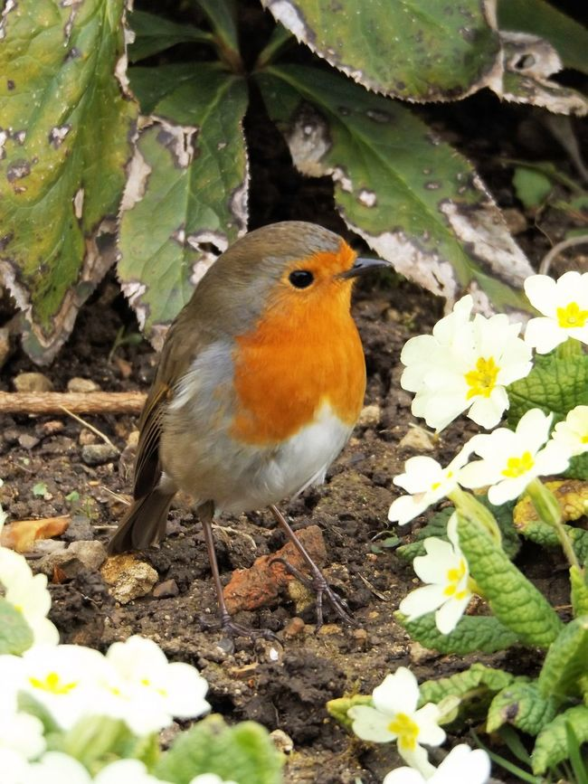 robin and primroses Animal Themes Animal Wildlife Animals In The Wild Bird Close-up Day Flowers Nature No People One Animal Outdoors Primroses Robin