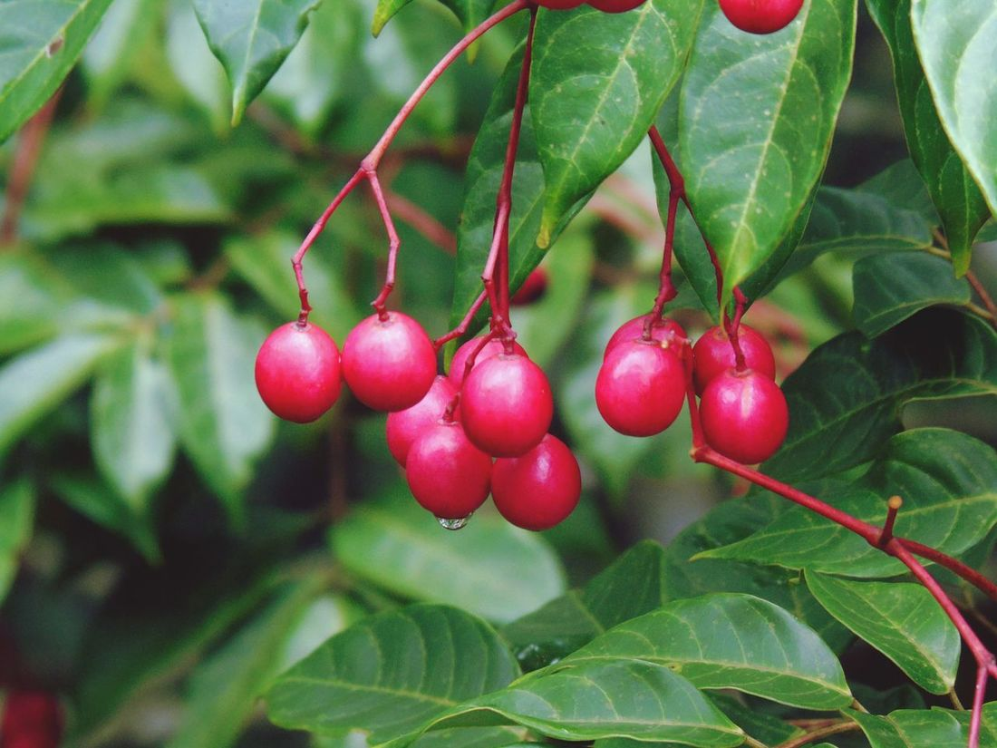 Fruit Tree Red Leaf Outdoors BranchCherry Close-up Beauty In Nature Cherry Tree No People Plant Beauty In Nature