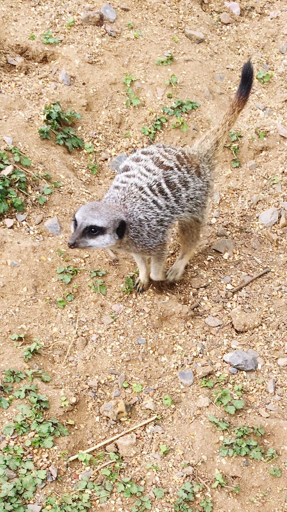 Hi little guy Animal Themes Field One Animal Mammal High Angle View Animals In The Wild Animal Wildlife No People Outdoors Nature Day Meerkat Zoo Animals  Zoo