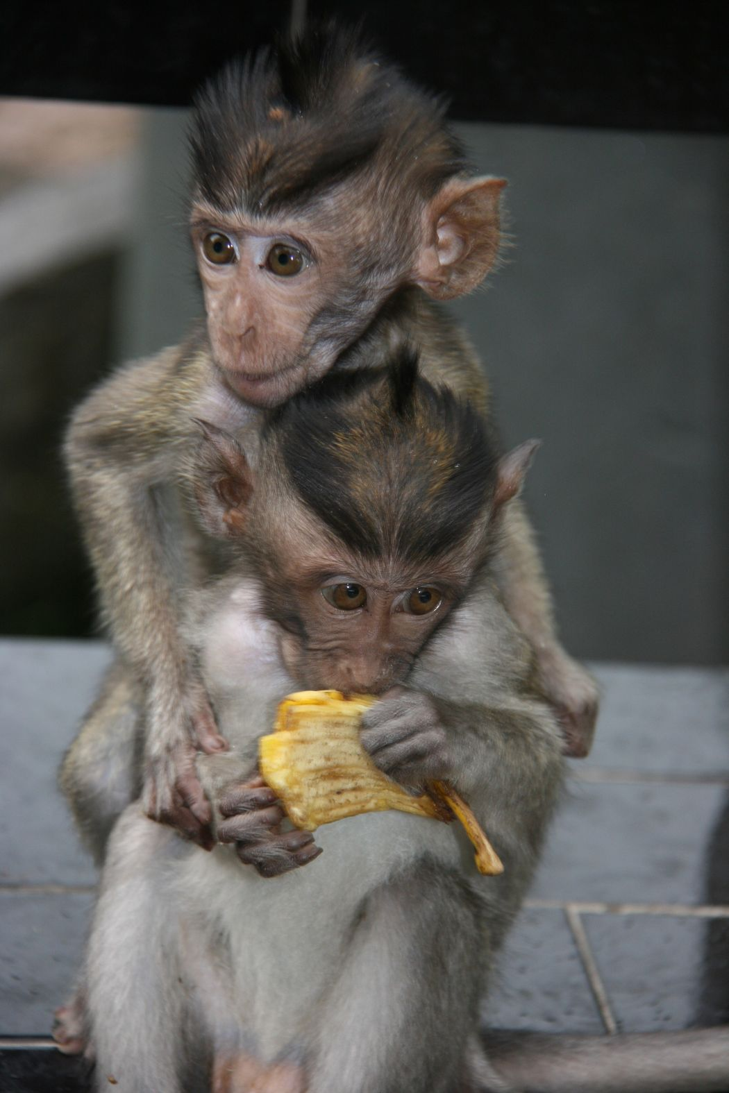 EyeEm Selects Eating Monkeys Little Monkeys Baby Monkeys Playtime No People Animals In The Wild Let's Go. Together.