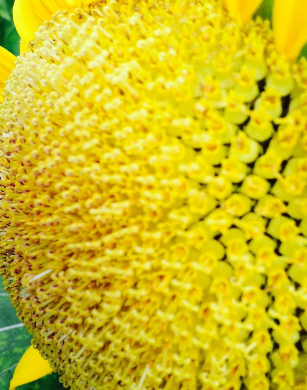 yellow, flower, freshness, close-up, fragility, nature, no people, day, growth, beauty in nature, outdoors, flower head