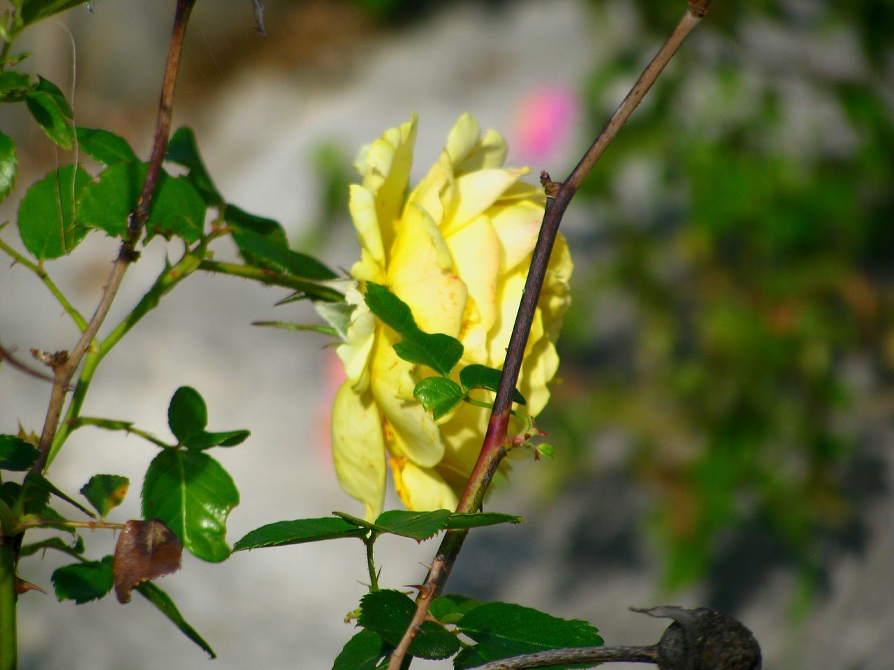 Rosé Roses Yellow Yellow Rose Flower Flowers Flower Head Flower Photography Yellow Flower Leaf Plant Nature Branch Freshness Beauty In Nature Leaves Green Leaves Tree Branches Garden Garden Photography Urban Gardening Art Is Everywhere TCPM