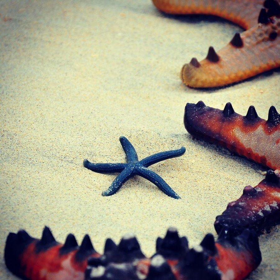 Baby blue starfish Starfish  Beach Island Potipot zambales whitesand @ronafabula