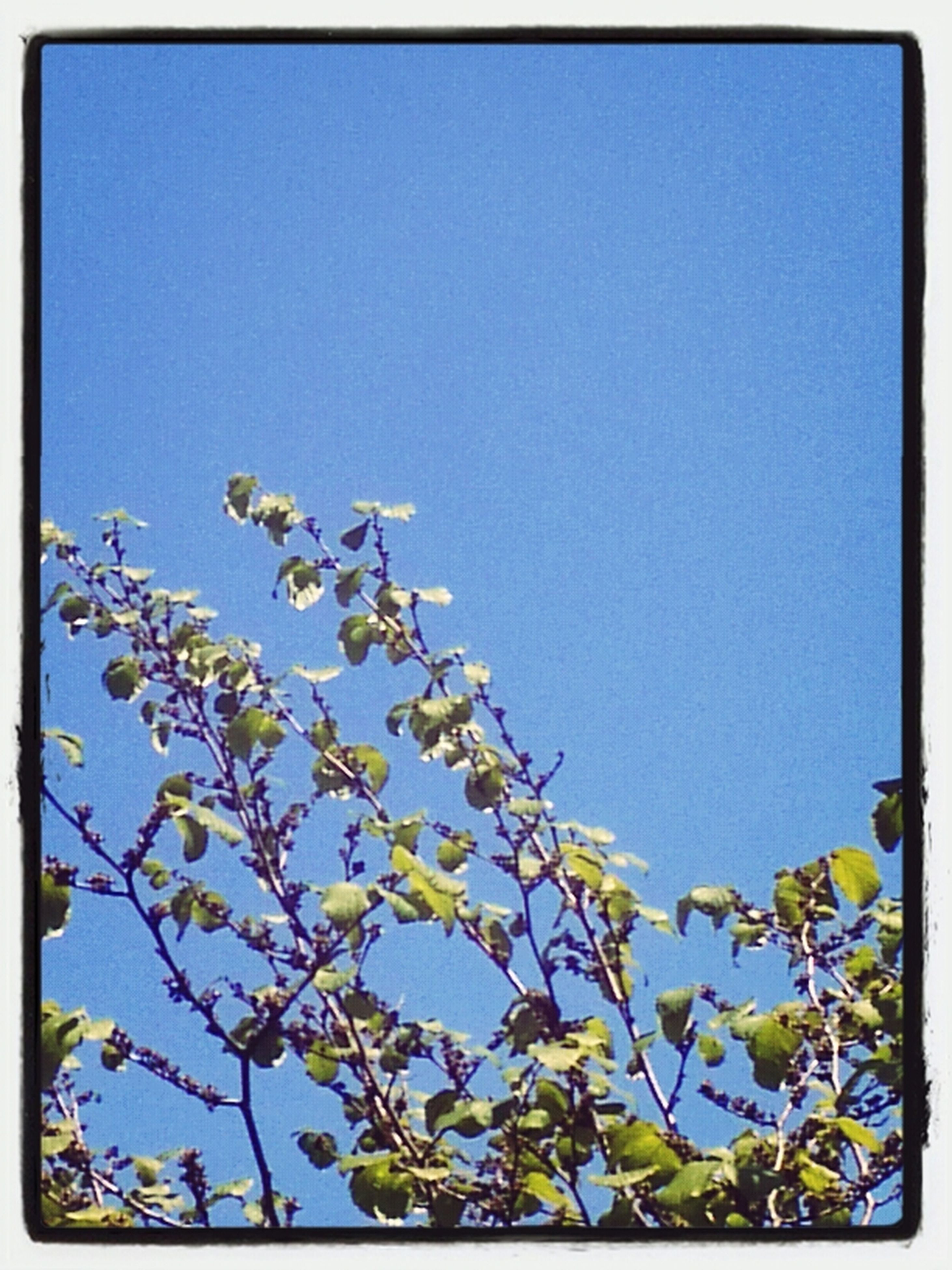 clear sky, blue, low angle view, transfer print, copy space, branch, auto post production filter, tree, growth, nature, beauty in nature, day, high section, outdoors, sky, no people, tranquility, leaf, flower, sunlight