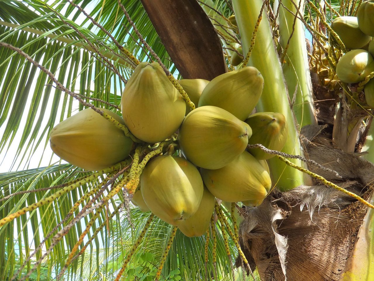 Close-up Coconuts Food Food And Drink Fruit Green Color Growth Healthy Eating Leaf Low Angle View Nature Outdoors Palm Tree Plant Tree