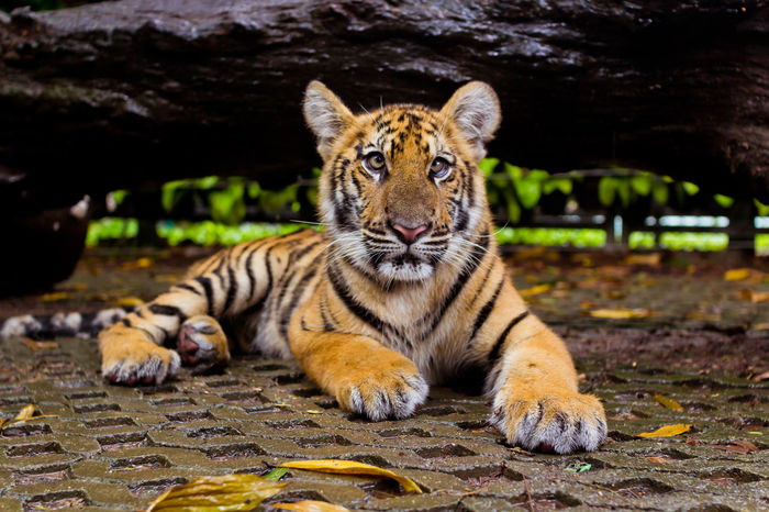 Animal Themes Animals In The Wild Baby Tiger Day EyeEm Best Shots EyeEm Gallery EyeEm Nature Lover Feline Looking At Camera Mammal Nature No People One Animal Outdoors Portrait Tiger Tiger Face Tigers