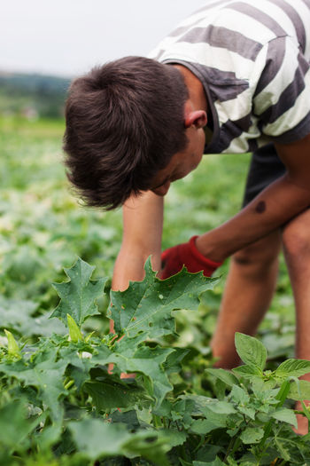 harvesting helper bend down and picking up the cucumbers Bend Down Bending Cucumbers Farmer Field Picking Up Work Worker Working Bending Over Close Up Farming Gloves Harvesting Helper Male One Person Outdoors Ripe