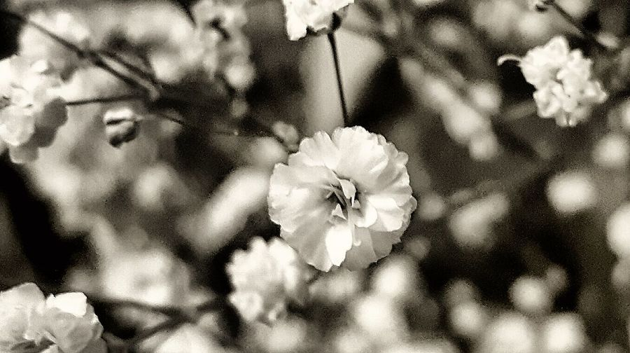 Flower Fragility Beauty In Nature Nature Petal Plant Growth Close-up Freshness Flower Head No People Outdoors Day Softness Smartphonephotography Babiesbreath Contrast EyeEm Nature Lover Blackandwhite Photography Smallthings