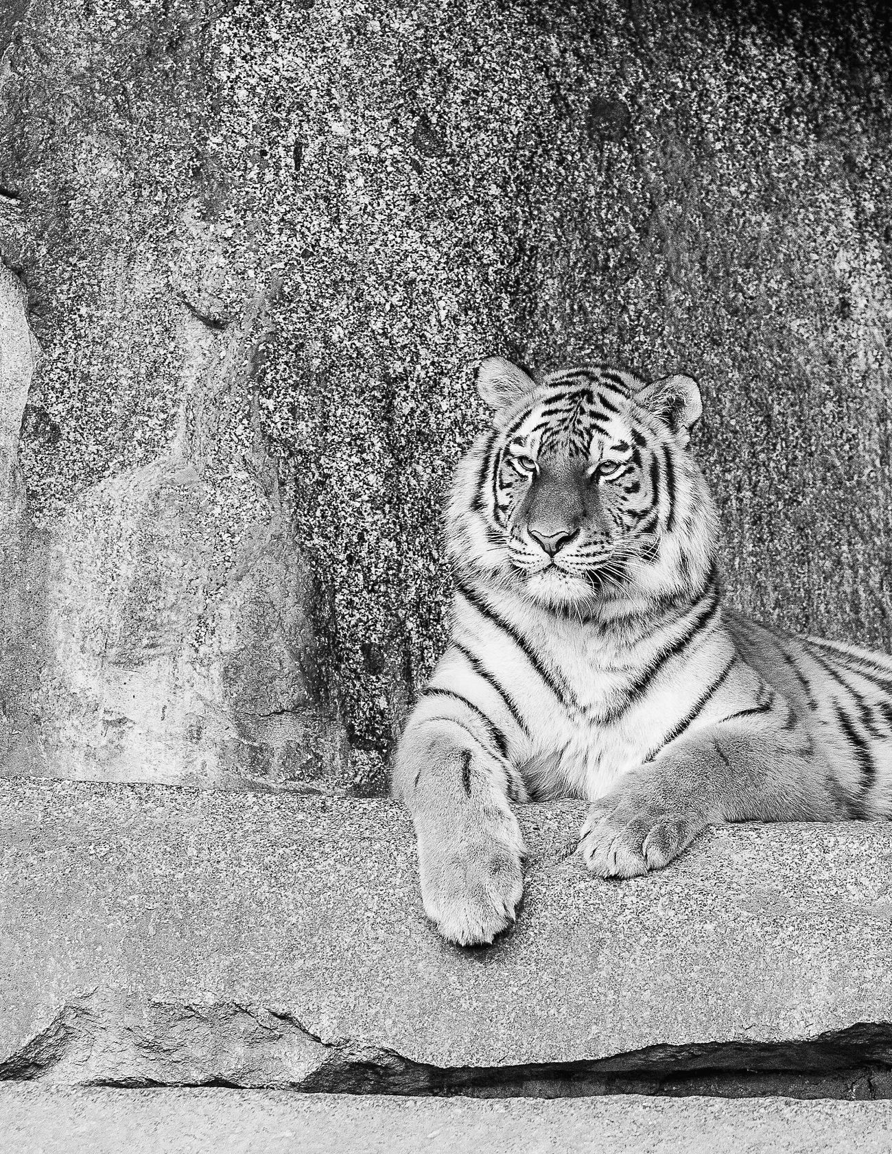 Animal Themes Tiger Looking At Camera No People Zoo Animals  Portrait Black & White Monochrome Photography